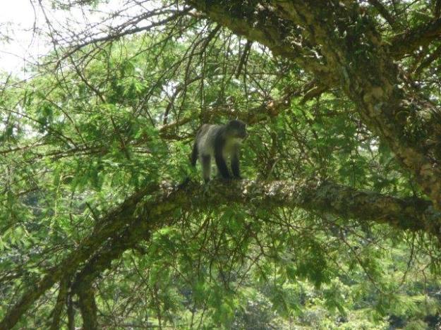 6-Samango Monkey